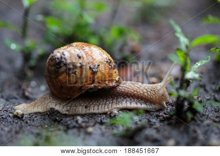 Helix pomatia common names the Burgundy snail Roman snail edible snail or escargot