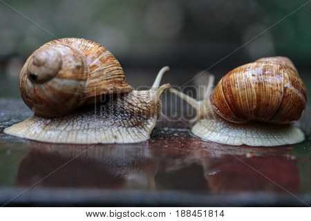 Two running snails - look like they were chasing although it was really a form of courtship