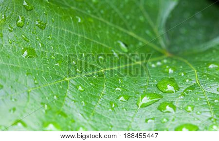 Burdock green leaf with drops of dew. Close-up.
