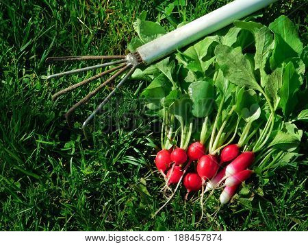 Fresh harvest of radishes in the grass and a rake on a sunny day