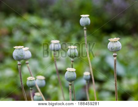 Green poppy (Papaver) seed pods (capsule boll head) in the field. Close-up.