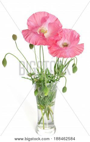 Pink Poppies In Glass Vase Isolated On White Background