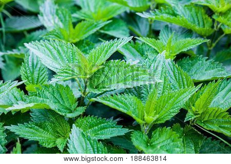 Stinging nettles (Urtica dioica) in the garden. Green leaves with serrated margin. Close-up.