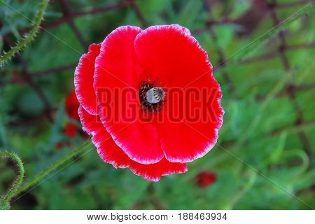 Closeup nice red poppy on green background