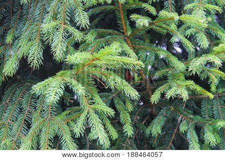 Closeup nice fir branches in summer forest
