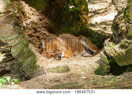 cuon alpinus, himalayan wolf, red wolf, or a mountain wolf  sleeps in a large tree trunk that has fallen to the ground, a bright red color, a Riga zoo,