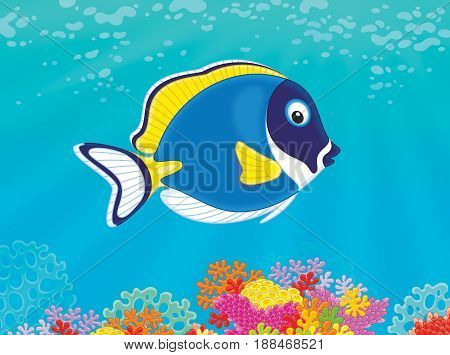 Blue surgeon fish swimming over corals in a tropical sea