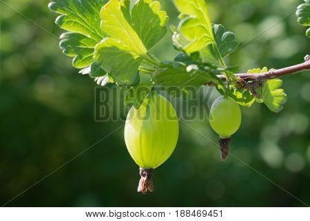 The gooseberry berry hangs on a branch under the leaves