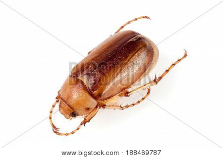 May beetle or Cockchafer or Melolontha isolated on white background.
