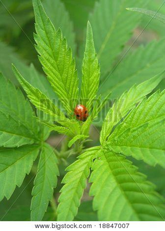 close ups shot of a ladybug sitting on a marihuanaplant