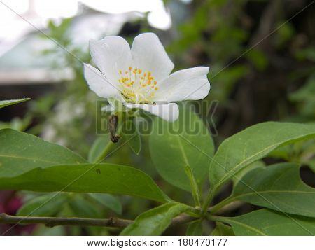 pequeña flor blanca con pistilo amarillo, natural