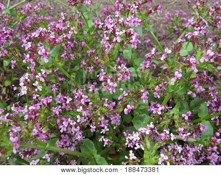 American valerian, Fedia cornucopiae, in herb garden
