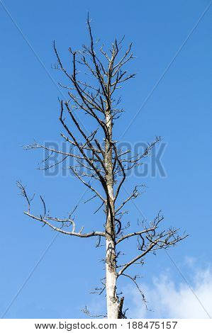Dry leafless dead tree and branches against blue sky background