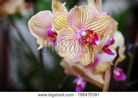 Yellow orchid flower. Botanical flower. Spring time