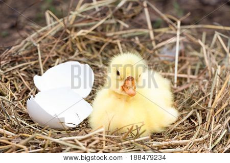 Cute little domestic gosling with broken eggshell in straw nest.