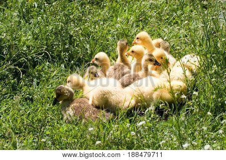 A flock of little geese grazing in green grass.