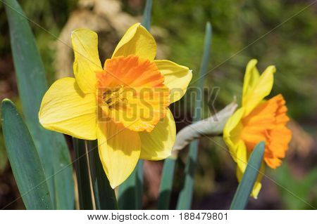 Beautiful yellow daffodils. Narcissus on bright background