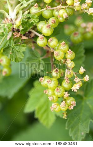 Unripe green redcurrant berries on a branch close-up.