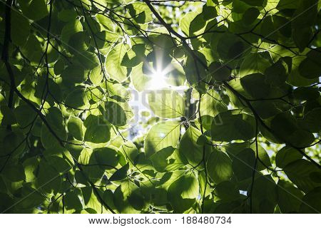 View on Light flooded green Leaves. Green Leaves in Spring.  Close-up of green Leves in the Morning Light