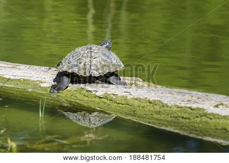 View on a Turtle on a Tree Trunk. Red Eared Terrapin. Close-up of a relaxed Turtle. Trachemys scripta Elegans. Red Eared Sliders.