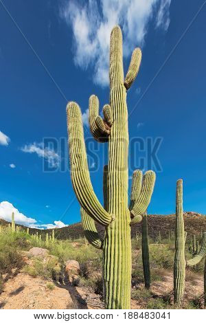 Giant Saguaro cactus in Sonoran desert, Phoenix, Arizona.