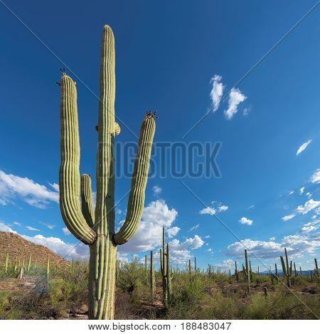 Giant Saguaro cactus at sunset, Tucson, Arizona.