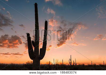 Giant Saguaro cactus silhouette at sunset, Tucson, Arizona.