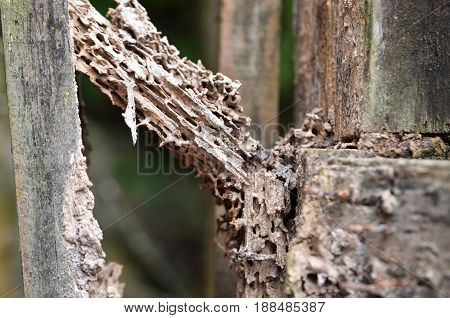 Damage wood eaten by termite in traditional wooden house
