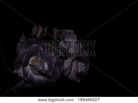 Purple roses on black background - dark tone style