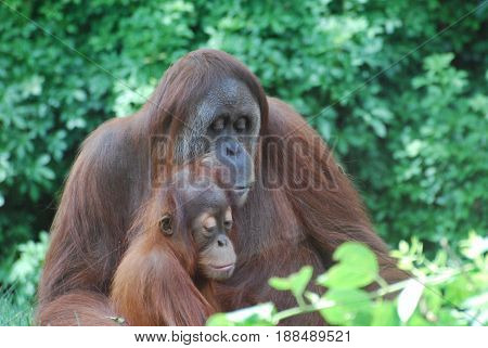 Adorable view of orangutan family. It looks as if mom is reading to the baby.