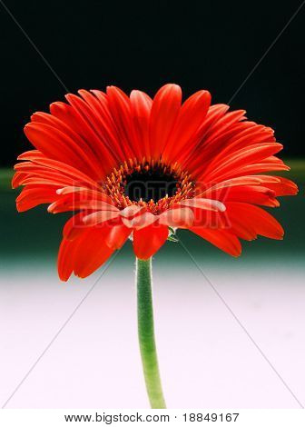 cross process photographic reproduction showing a orange gebera daisy against a black and white background