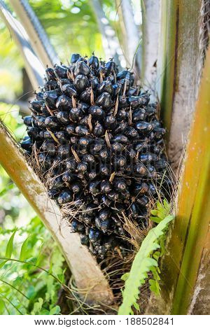 Oil Palm Fruits On The Tree
