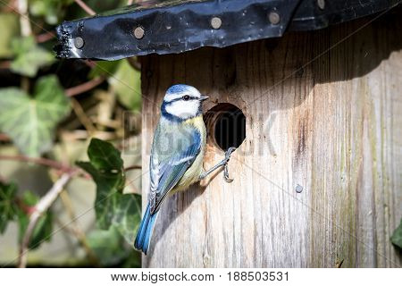 Close-up of a blue tit at a birdhouse