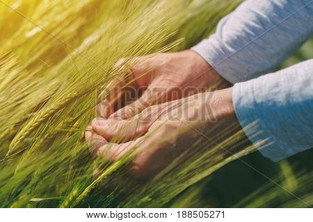 Agronomist examining ears of the wheat crops in field agricultural activity and occupation responsible farming and control of the plant growth and development