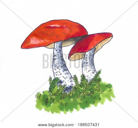 Hand drawn sketch of Two Leccinum Mushrooms
