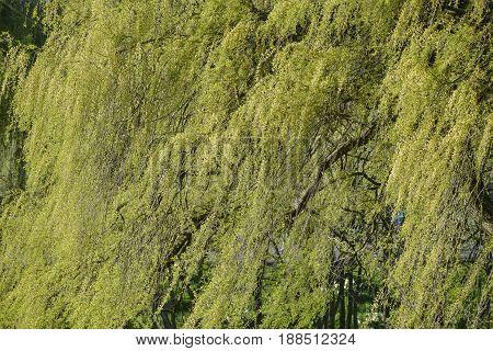 Beautiful Vibrant Image Of Willow Tree Salix Albra In Spring Sunlight