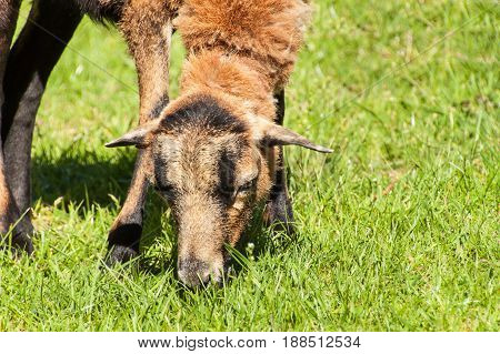 Sheep for grazing her grass. Domestic breeding of sheep