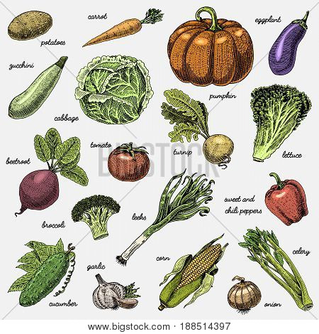 set of hand drawn, engraved vegetables, vegetarian food, plants, vintage looking pumpkin, cabage and tomato, lettuce with carrot, corn and others.