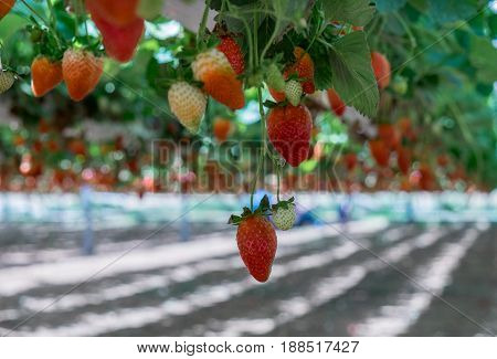 Growing Organic Sweet Hydroponic Strawberries In Greenhouse. Israel