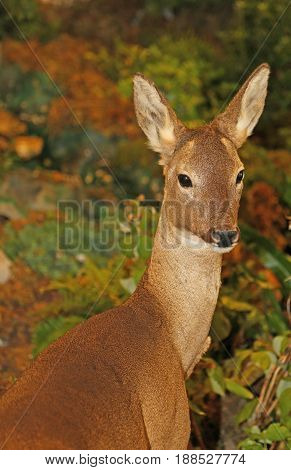 Roebuck With Brown Fur In Autumn Forest