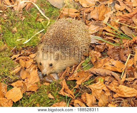 Hedgehog With Aculei In The Undergrowth In The Fall