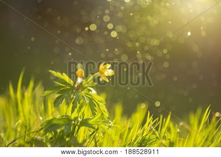 Wild Flower Buttercup With Sunshine And Flying Water Particle.