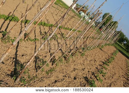 Big Vegetable Garden With Little Tomatoes Plants In Spring