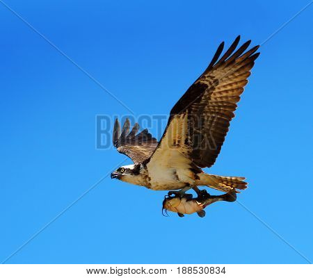 Osprey Flying with a Catfish in its Talons