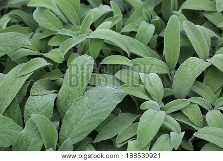 Large Green Leaves Of Sage. Sage Is An Aromatic Herb Ideal To Fl