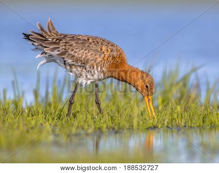 Close Up Of Black Tailed Godwit Foraging In Wetland
