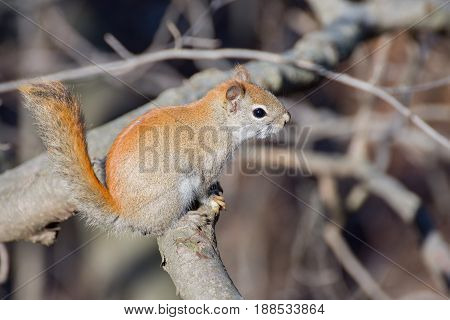 An American Red Squirrel in the woods at a nature trail.