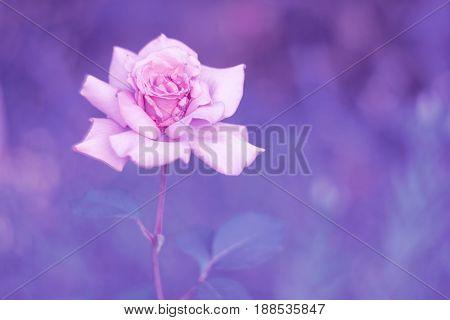 Rose gentle toning lilac background. Flower rose.