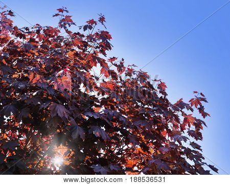 Leaves of Korea Maple, Acer palmatum Atropurpureum. Dark red feathery acer, bright blue sky on the background. Sun beams broken through the foliage.