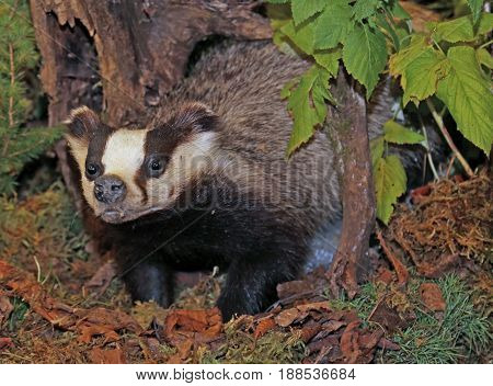Skunk Or Polecat In The Woods In Autumn